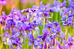 Iris auf dem Blumenbeet Lizenzfreie Stockfotos