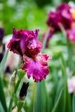 Iris auf dem Gebiet Lizenzfreie Stockbilder
