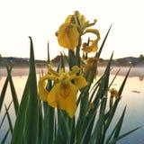 Iris auf dem Teich Stockfotos
