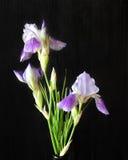 Iris auf einem dunklen Hintergrund Lizenzfreie Stockbilder