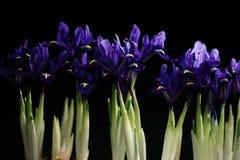 Iris auf einem schwarzen Hintergrund Stockbild
