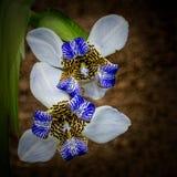 Iris aufwecken, Neomarica-caerulea, auf schwarzem Hintergrund, Draufsicht Lizenzfreie Stockbilder