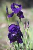 Iris azul Foto de archivo libre de regalías