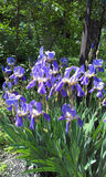 Iris azul en el jardín imagenes de archivo
