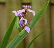 Iris azul floreciente Imagen de archivo libre de regalías