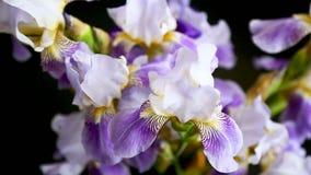 Iris azul hermoso del fleuret- Est? en fondo negro
