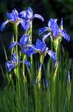 Iris azules de las flores. Foto de archivo libre de regalías