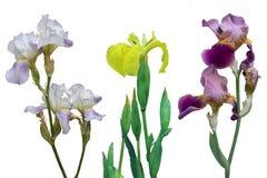 Iris Barbatum, Iris Japanese, Iris pseudacorus blüht auf einem weißen Hintergrund Stockbilder