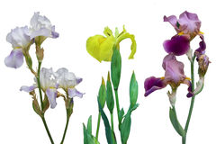 Iris Barbatum, Iris Japanese, pseudacorus d'iris fleurit sur un fond blanc Images stock