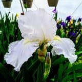 Iris barbu photographie stock libre de droits