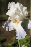 Iris barbu de Blue&White Image stock