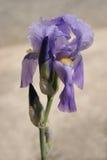 Iris barbu pourpré Photo stock