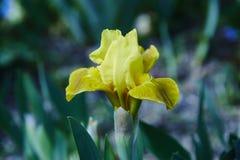 Iris barbu photo libre de droits