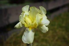 Iris barbudo Foto de archivo libre de regalías