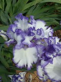 Iris barbudo Imagen de archivo