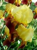Iris barbudo alto supremo del taco Imagen de archivo