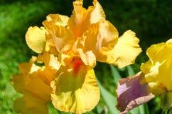 Iris barbudo amarillo y anaranjado desde arriba imagenes de archivo