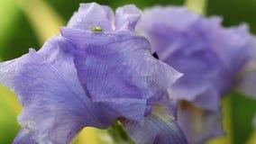 Iris barbudo púrpura y una araña almacen de metraje de vídeo