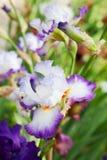 Iris. Beautiful flower iris closeup. violet Royalty Free Stock Photo