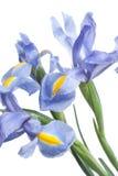 Iris. Beautiful flower on light background Royalty Free Stock Photography