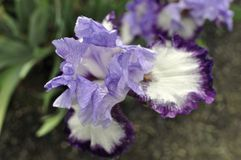 Iris. Beautiful, fragile iris with magnificent colors blooming on a cloudy day petals awash with delicate features Royalty Free Stock Images