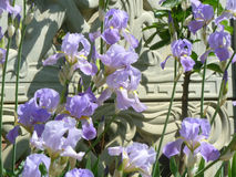 Iris. Beautiful purple flowers blooming in full force Royalty Free Stock Photos