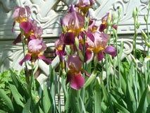 Iris. Beautiful purple flowers blooming in full force Stock Photo