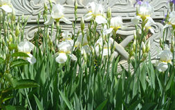 Iris. Beautiful white flower blooming in full force Royalty Free Stock Photos