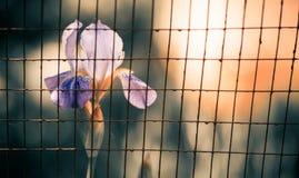 Iris behind fence Stock Photography