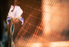 Iris behind fence Royalty Free Stock Photography
