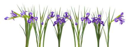 Iris blüht Grenze. Lokalisiert auf Weiß Stockbild