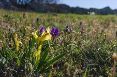 Iris blüht im Frühjahr Lizenzfreies Stockbild