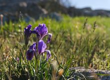Iris blüht im Frühjahr Stockbild