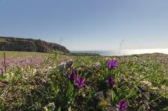 Iris blüht im Frühjahr Stockfotografie