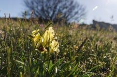 Iris blüht im Frühjahr Stockbilder