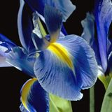 Iris on black Stock Image