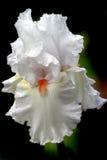 Iris blanc image stock
