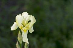 Iris blanc Image libre de droits