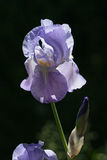 Iris bleu Photographie stock libre de droits