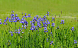 Iris bleu Image libre de droits