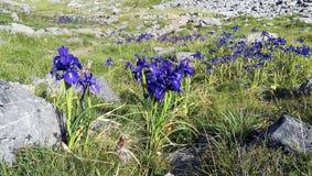 Iris bleu dans les Pyrénées Photos stock