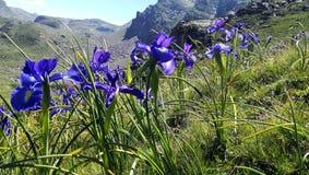 Iris bleu des Pyrénées photographie stock