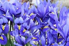 Iris bleu miniature néerlandais (reticulata d'iris) Photographie stock libre de droits