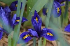 Iris bleu nain de premier ressort images stock