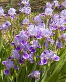 Iris bleus Photographie stock