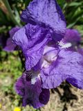 Iris in bloei Royalty-vrije Stock Afbeelding