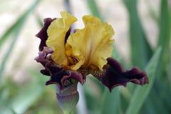Iris, bloemen Stock Foto's
