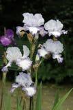Iris, bloemen Stock Afbeeldingen