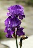 Iris, bloemen Royalty-vrije Stock Foto
