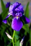 Iris - blomma i sommaren Arkivfoton
